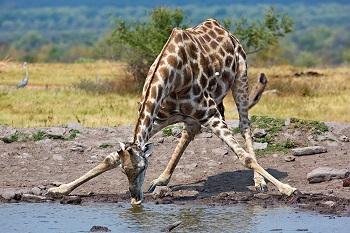 banjo safari giraffe